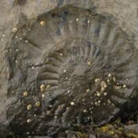 Ashaig fossil
